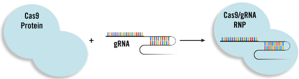 crispr-rnp-delivery-approach